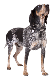 Hound dog Coon dog shock collars