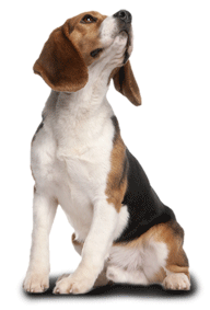Better collars for Beagles